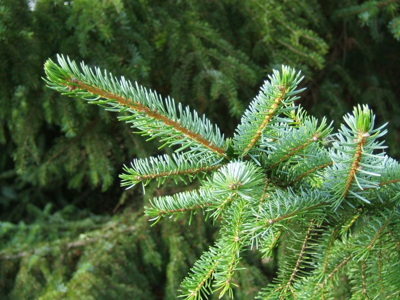 Picea_omorika1